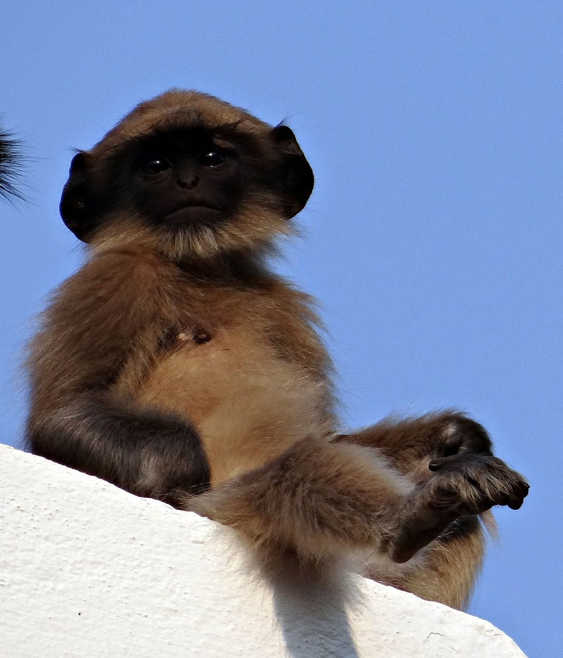 Baby Langur India wildlife PD