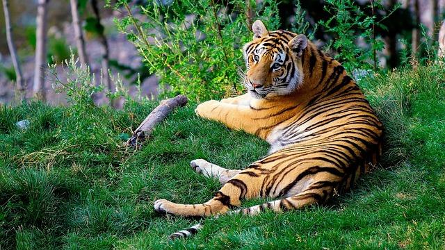 bengal-tiger_sunderban_west bengal_PD