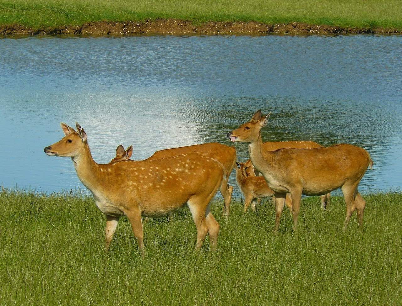 Barashingha_Swamp deer_PD