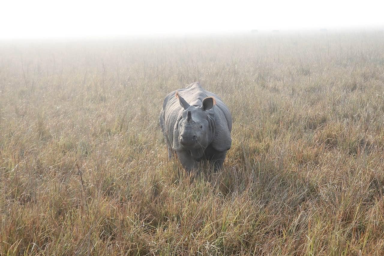 Indian rhinoceros_one horned_rhino_PD