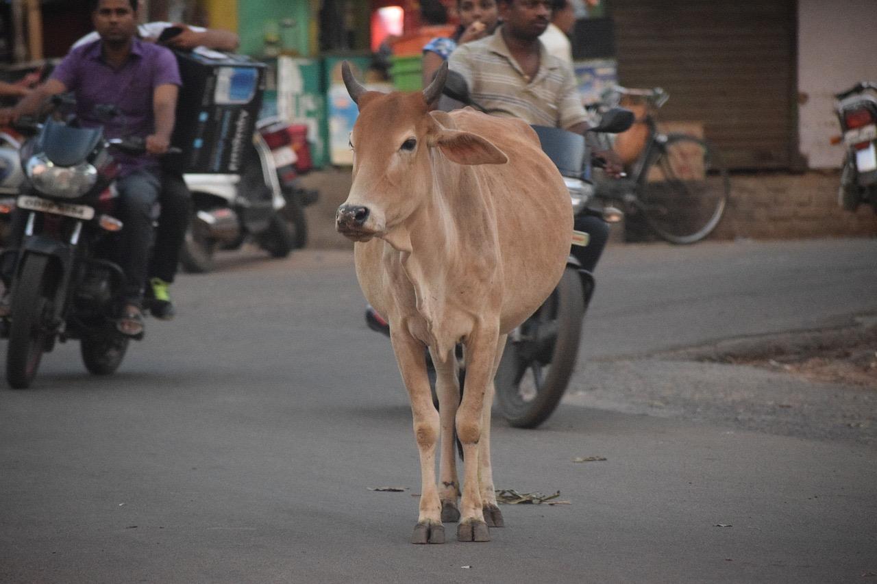 cow on street india odisha_PD