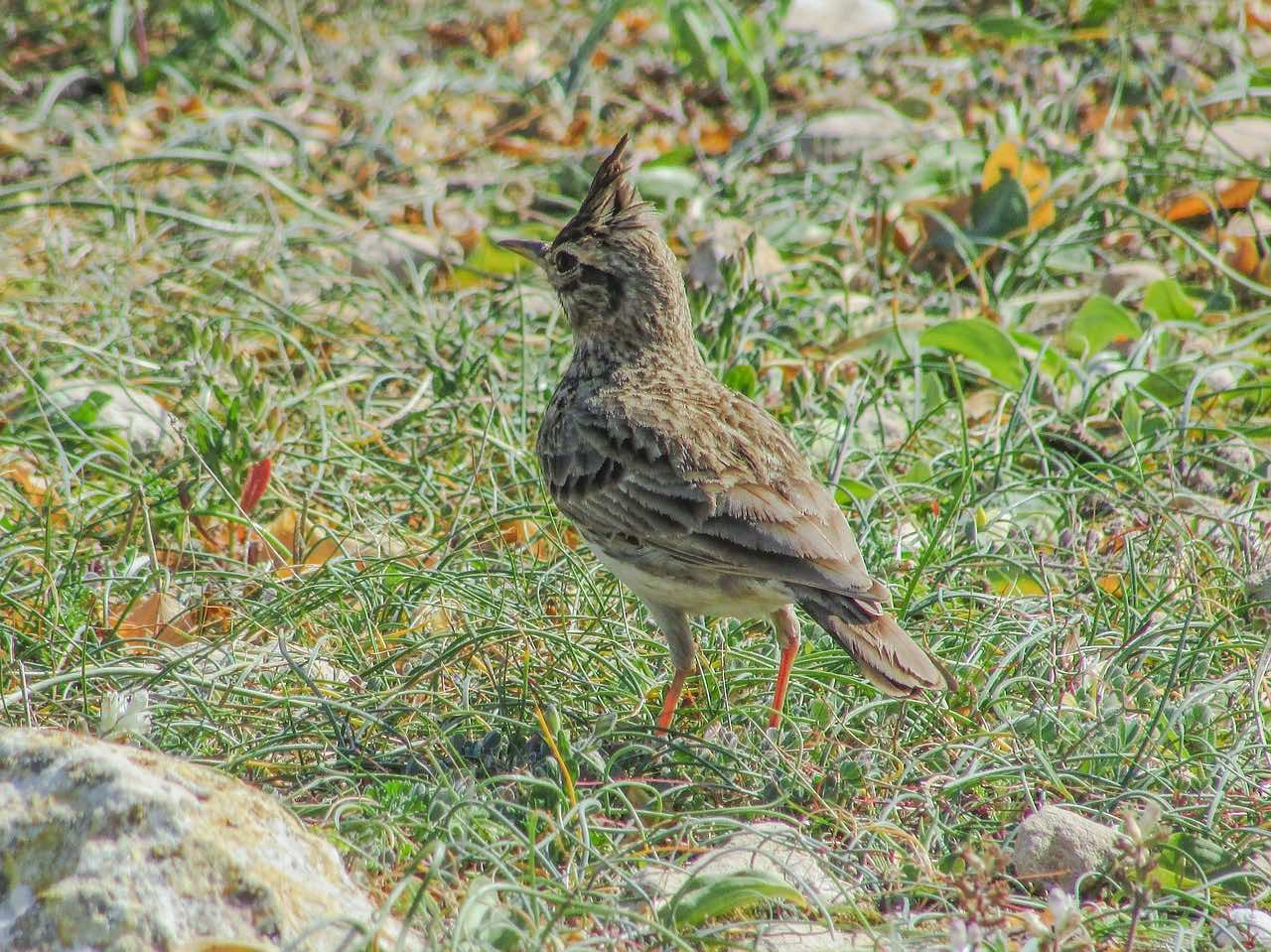 lark_migratory bird_PD