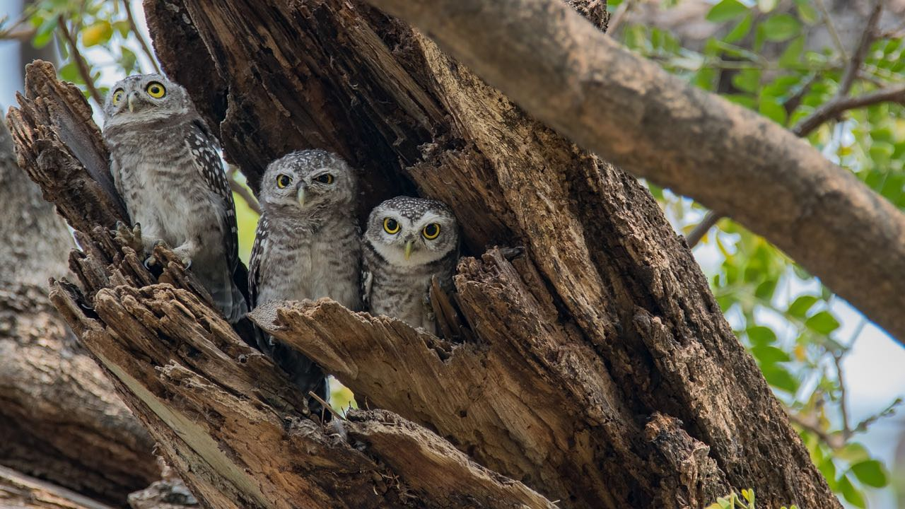 spotted-owlet_PD