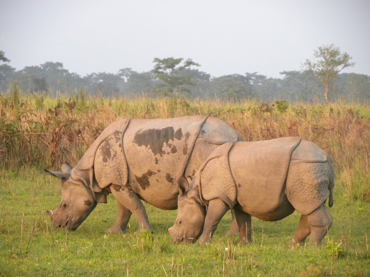 Rhino in Manas National Park_Assam_India_PD