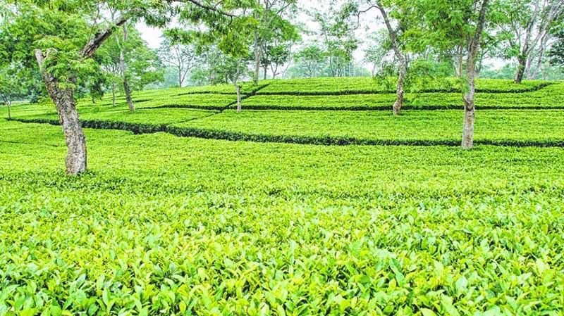Tea Plantations at Tezpur_CC0