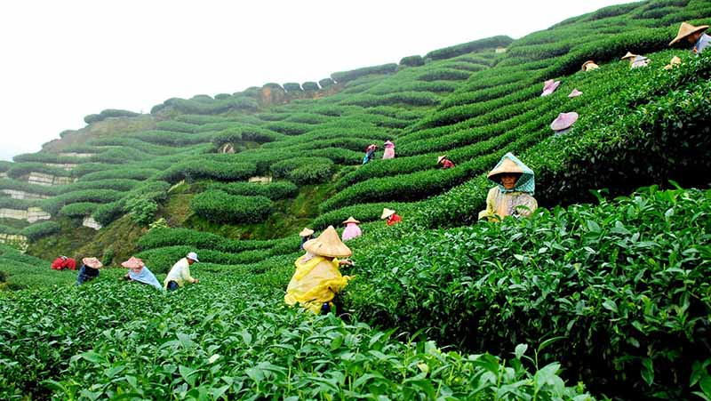 Local people working at a Tea Plantation_CC0
