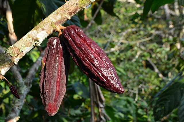 cocoa fruit_spice garden_PD