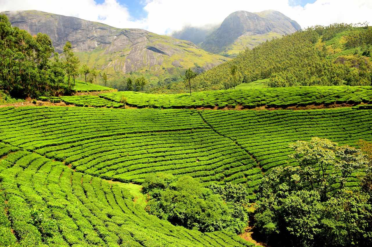 Tea plantation_Rajamalai Mountain Range_Munnar_Kerala_India_PD