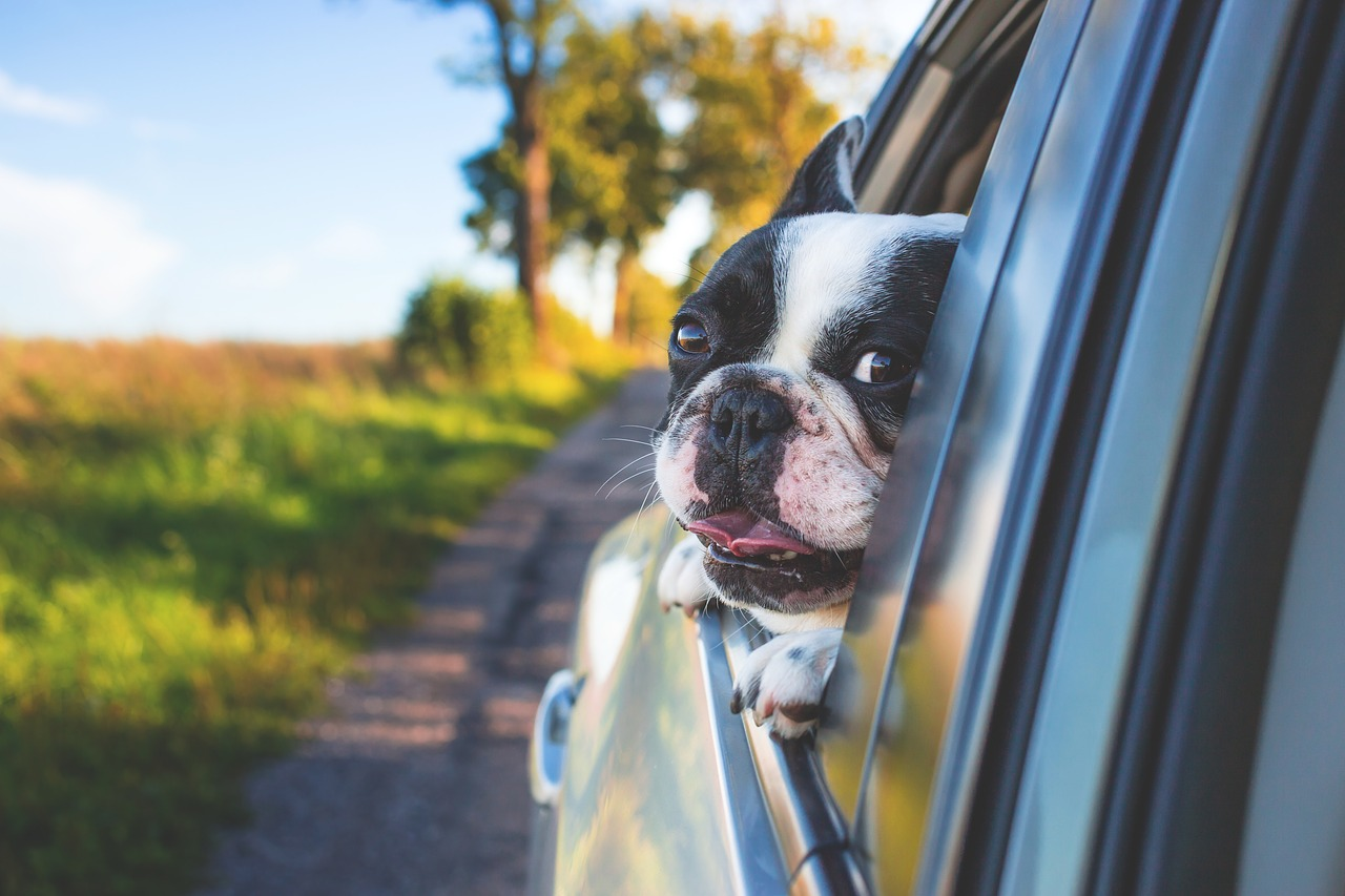 adorable_dog_in car_PD