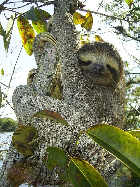 pygmy sloth_Panama_PD