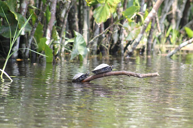 Turtles_Amazon river_Ecuador_PD