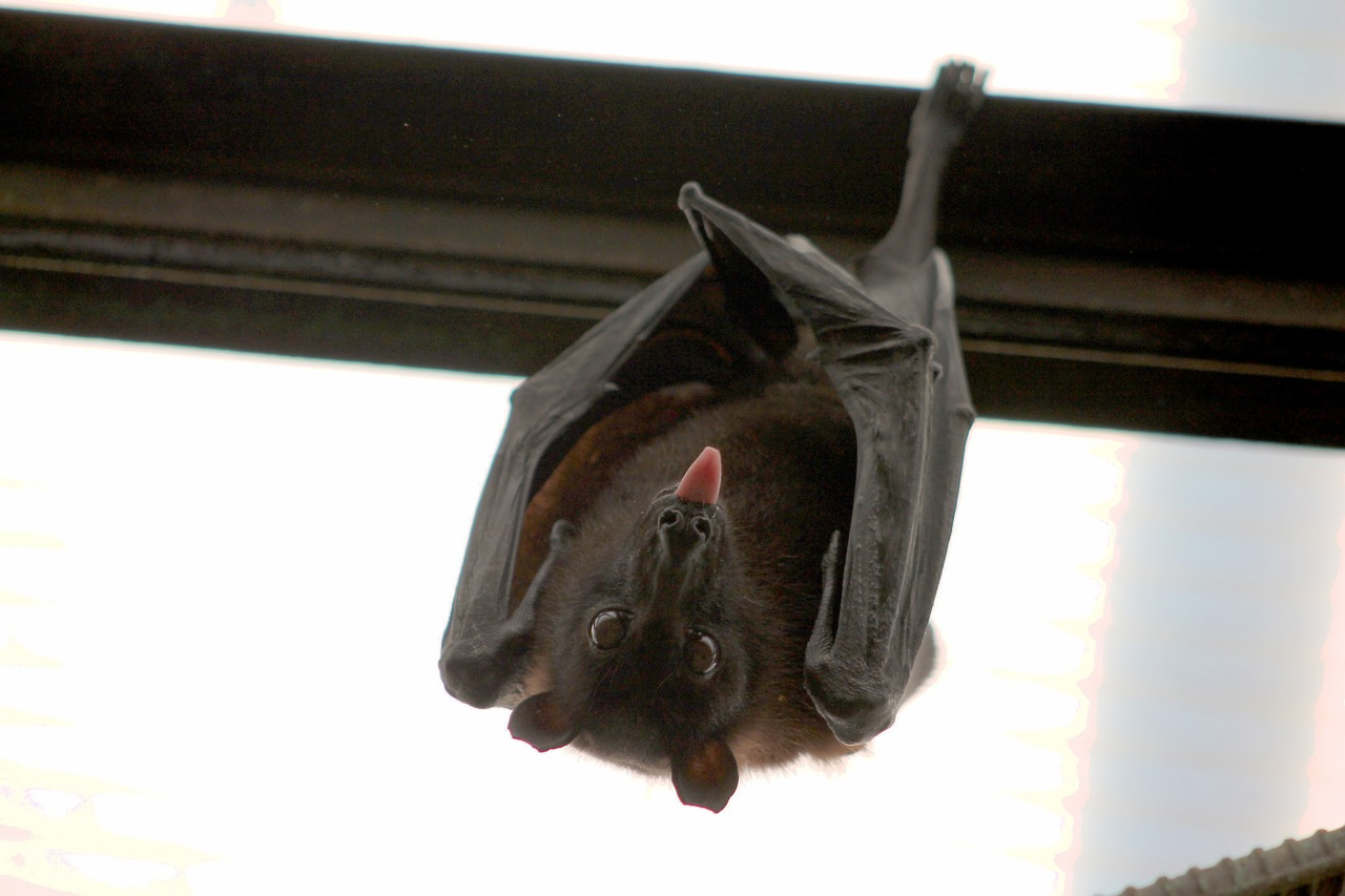 Vampire bat_flying fox_bat_PD