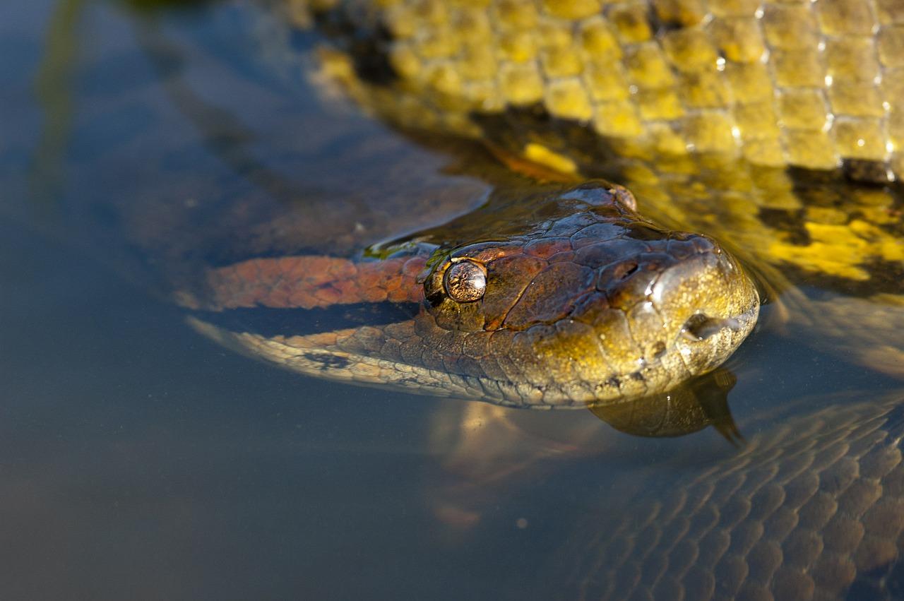 anaconda snake_amazon rainforest_PD