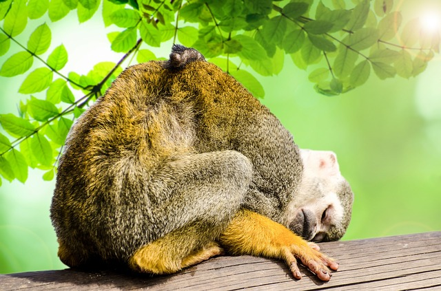 squirrel monkey_amazon jungle_PD