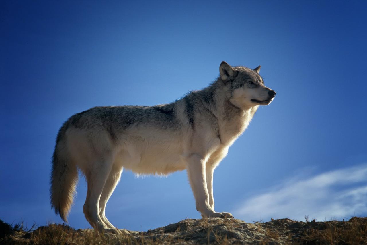 wolf_wild nature_montana_PD