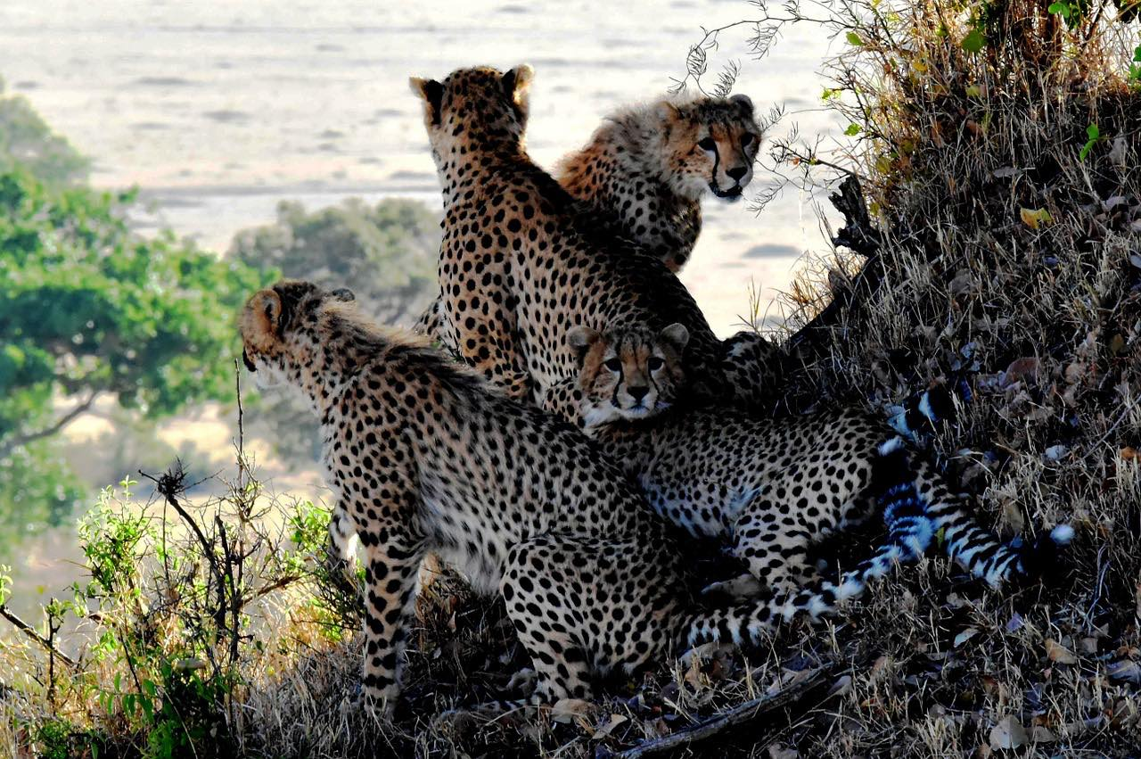 Cheetah_Tanzania_Wildlife_PD