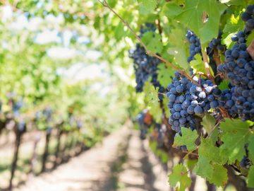 Grapes_Napa Wine Valley_California_PD