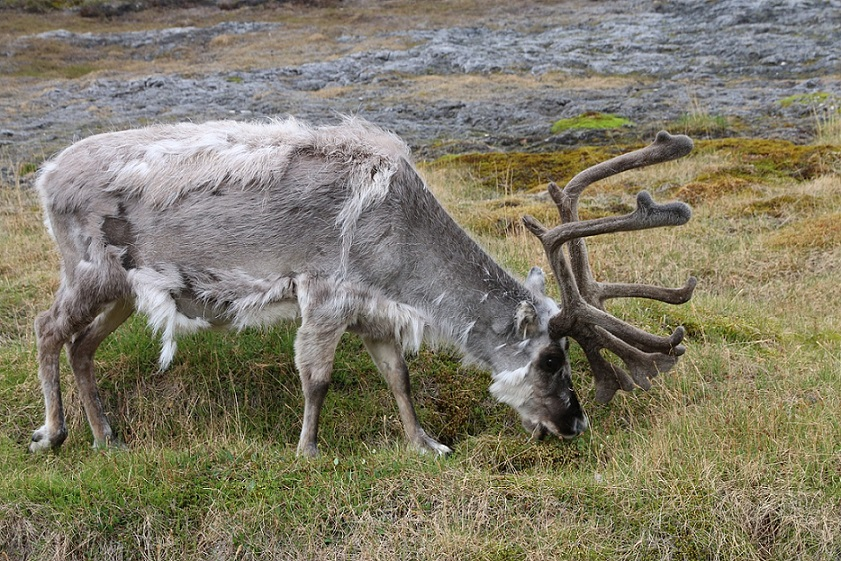 A Reindeer in Svalbard_Norway_Arctic Circle_PD