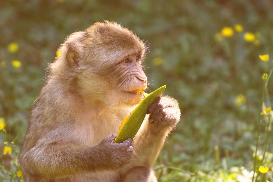 barbary-ape-monkey eating mango_PD