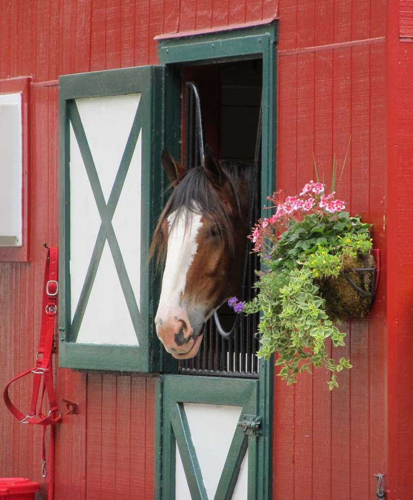 clydesdale-horse-head-stall-mane