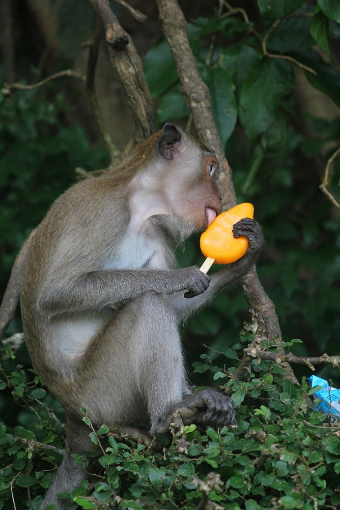 lang-suan_Monkey licking ice cream_PD