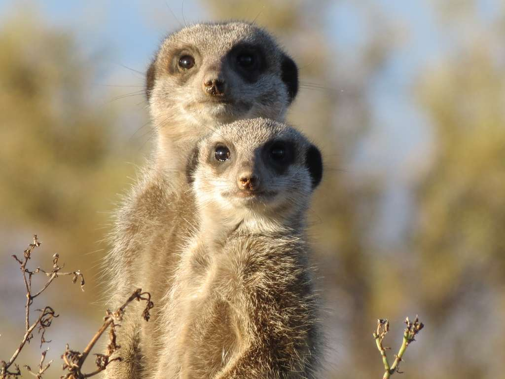 meerkat-animal-wild-wildlife
