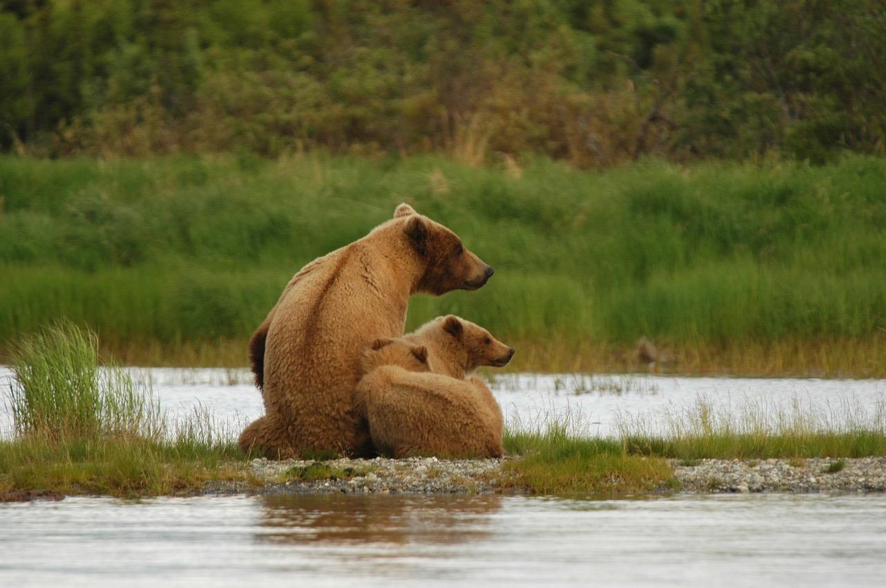 Bears_Alaska_PD