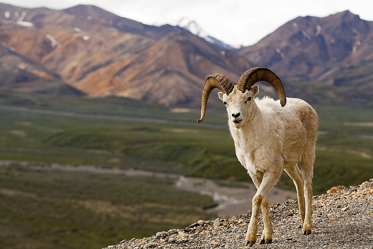 Dall Sheep in Alaska_PD