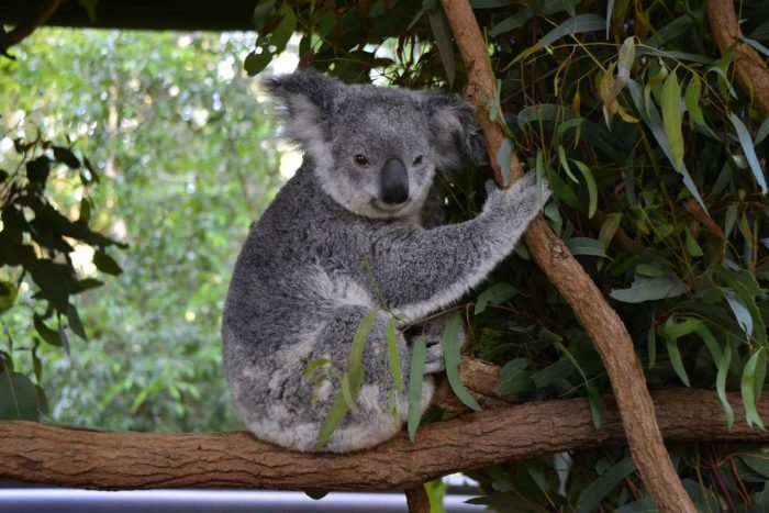 australia-koala-brisbane-animal-lone pine koala- sanctuary _PD