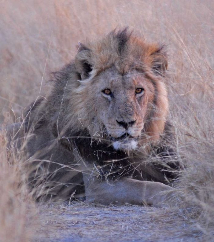 botswana-lion-savuti-africa_animal_grass_PD