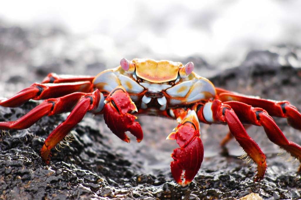 crab-galapagos-krabbe-ecuador_island_PD