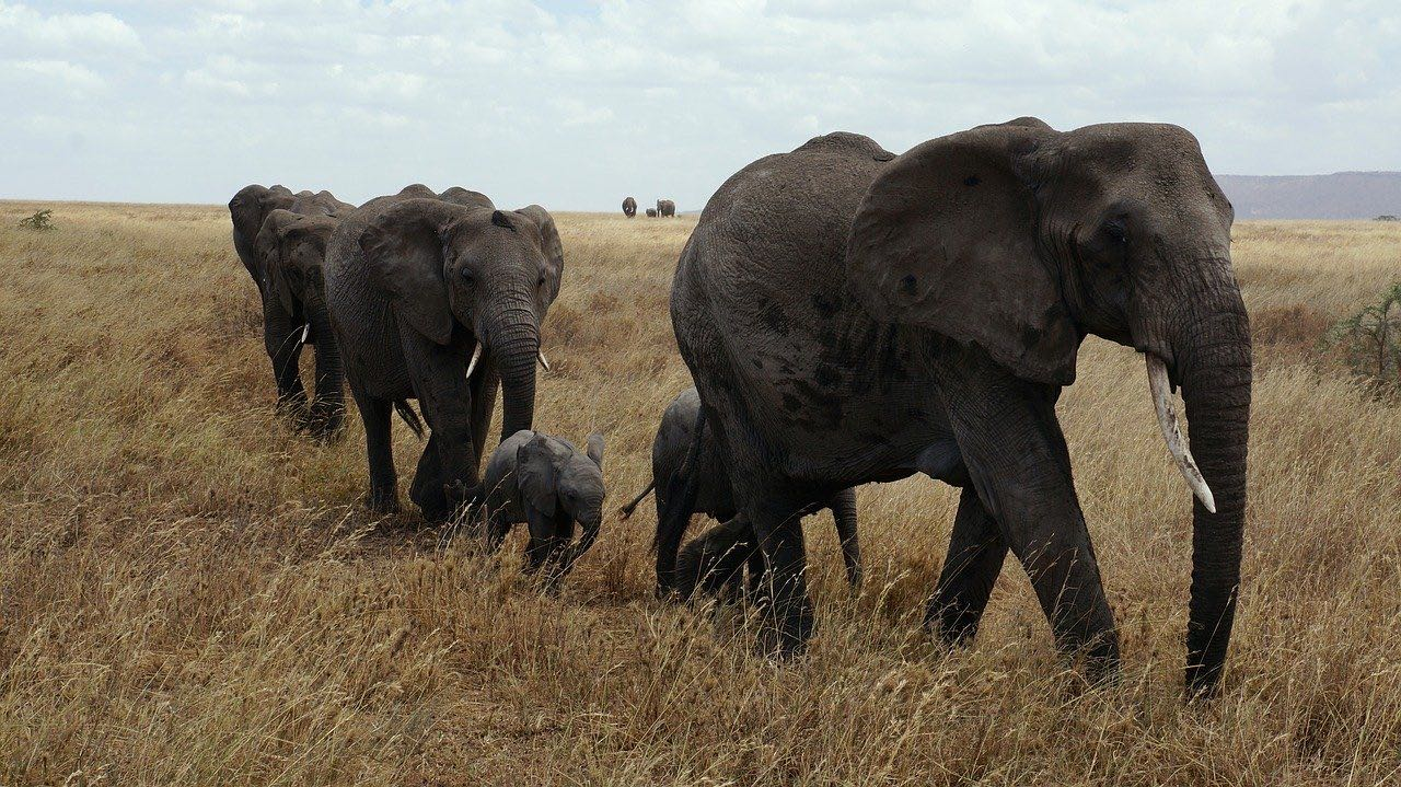 An Elephant Family in Serengeti_Tanzania Africa_PD