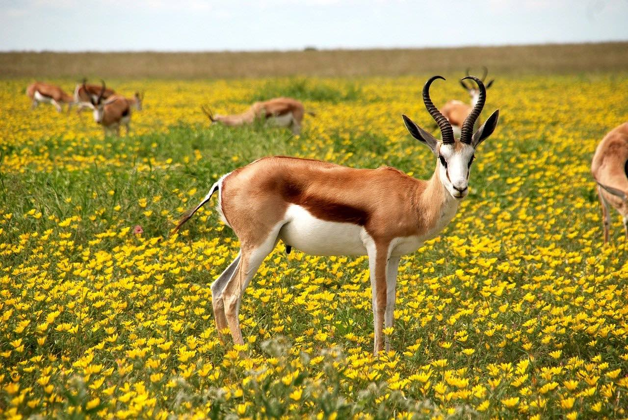 Antelopes in flowers meadow_Etosha National Park_Namibia Africa_PD