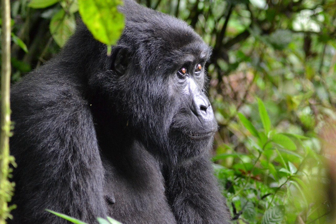Mountain Gorilla in Bwindi Impenetrable National Park_Uganda Africa_PD