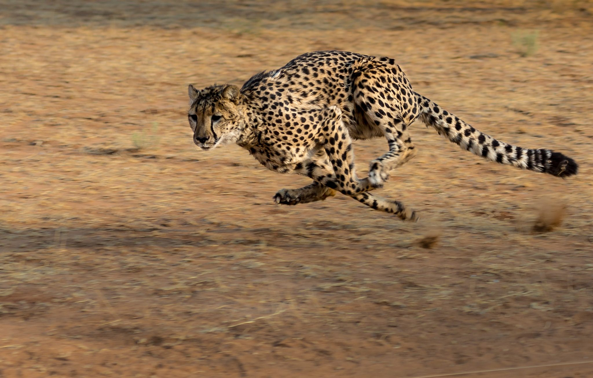 Sub Sahara Africa_Cheetah-africa-namibia-cat-run_PD