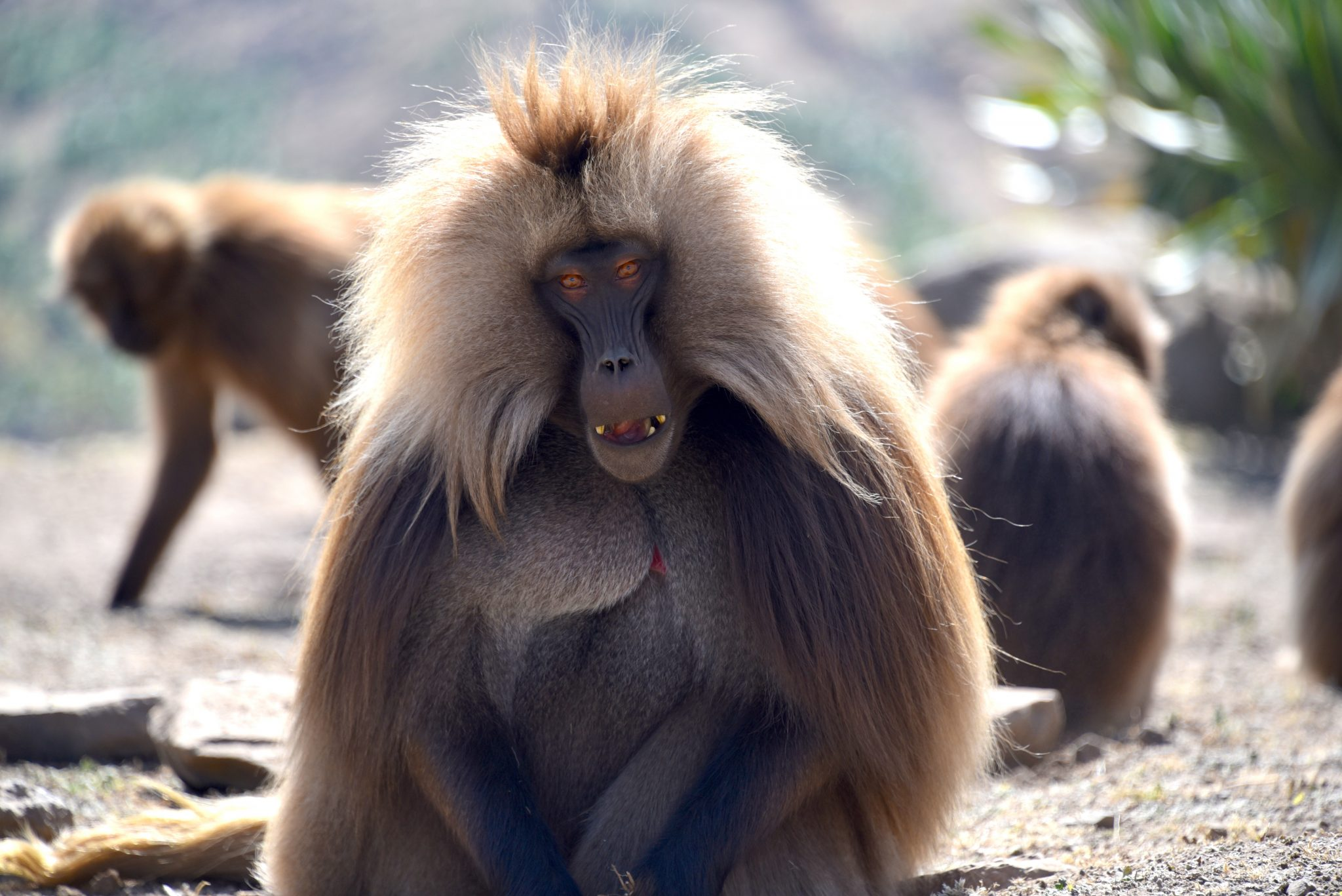 ethiopia-simien-mountain-gelada_PD
