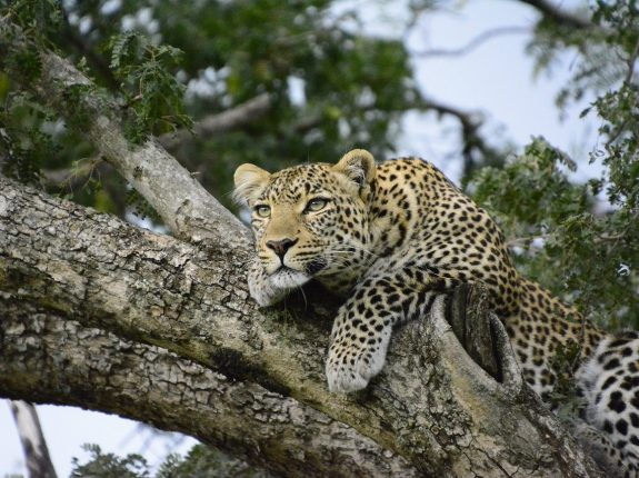 Our 7 days kenya safari and a leopard on tree in kenya_Africa_PD