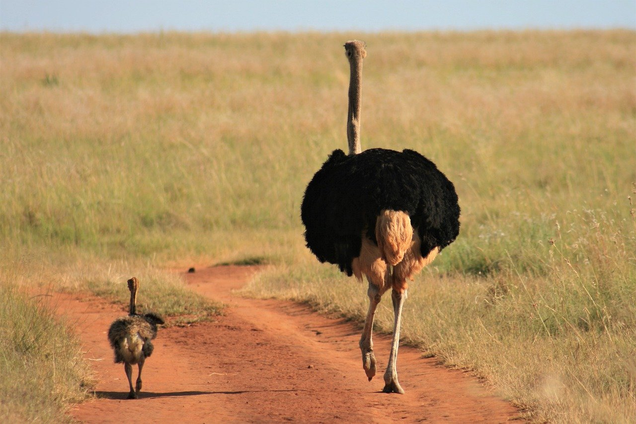 A mother and baby Ostrich_Kenya_Africa_PD