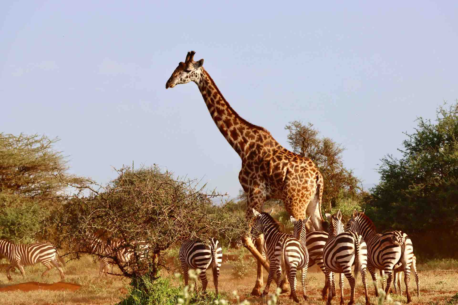 A zebra herd with giraffe_Amboseli_kenya_AOT