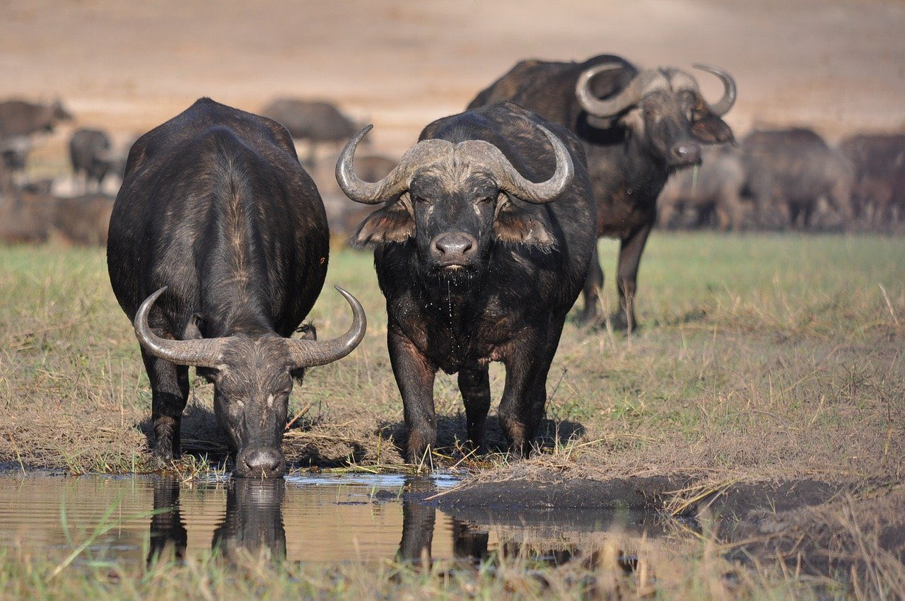 African Buffalo_Safari in Africa_PD