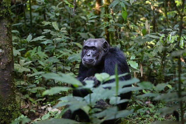 Chimpanzee in the wild_Congo_Africa_PD