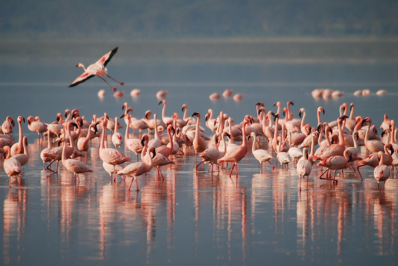 Flamingos_safari_lake nakuru_amboseli_kenya africa_PD