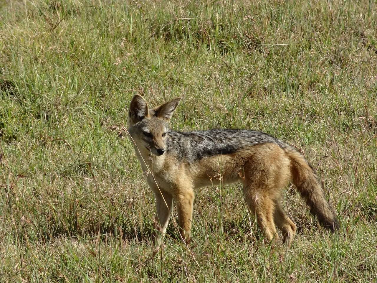 Jackal in Savannah of Kenya_Africa_PD