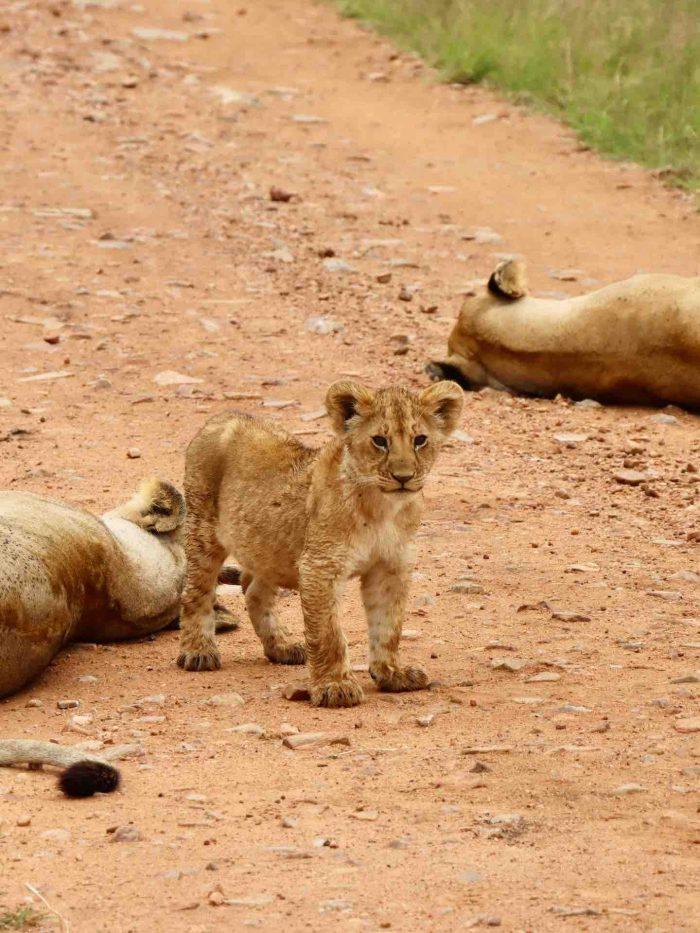 Lion cub simba in Maasai Mara Kenya_AOT
