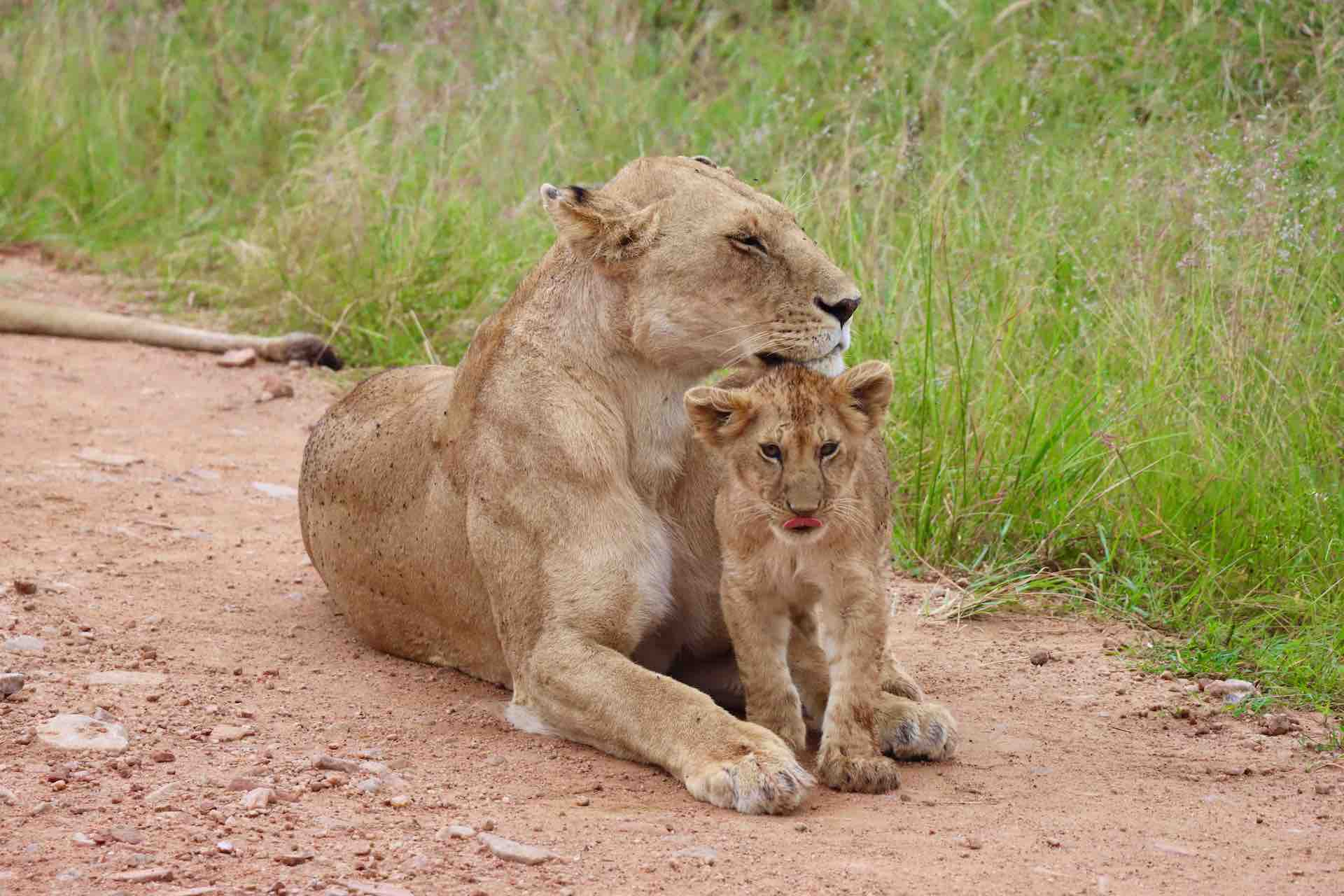 Lion cub_with mother lion in Maasai Mara Game Reserve in Kenya Africa_AOT