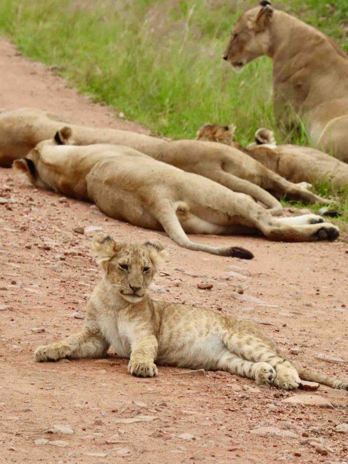 Lion cub_kenya_africa_AOT