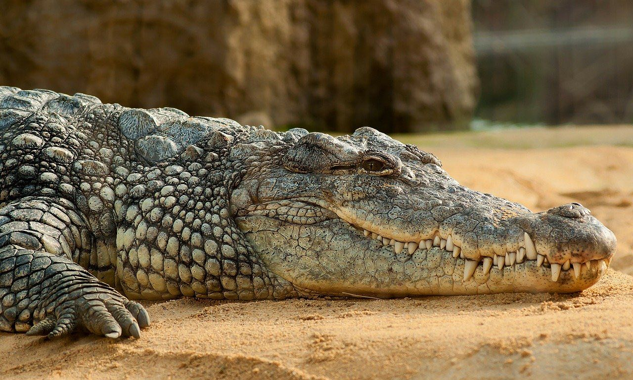 Nile crocodile_Nile river Sudan_Africa_PD