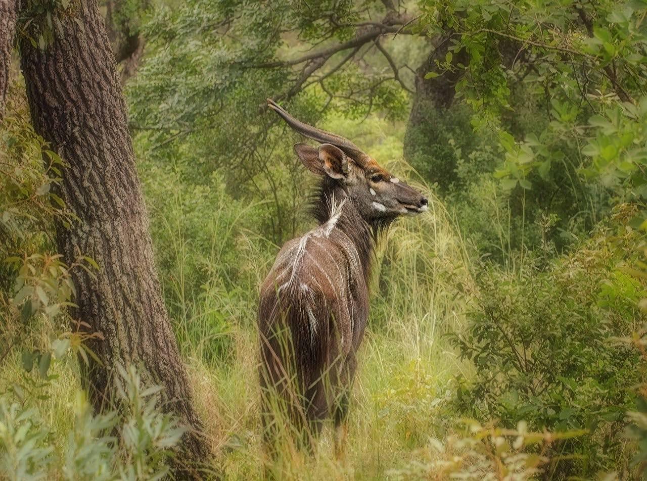 A Nyala antelope_Mozambique safari_Africa_PD