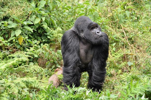 Silverback Gorilla in Rwanda_Africa_PD