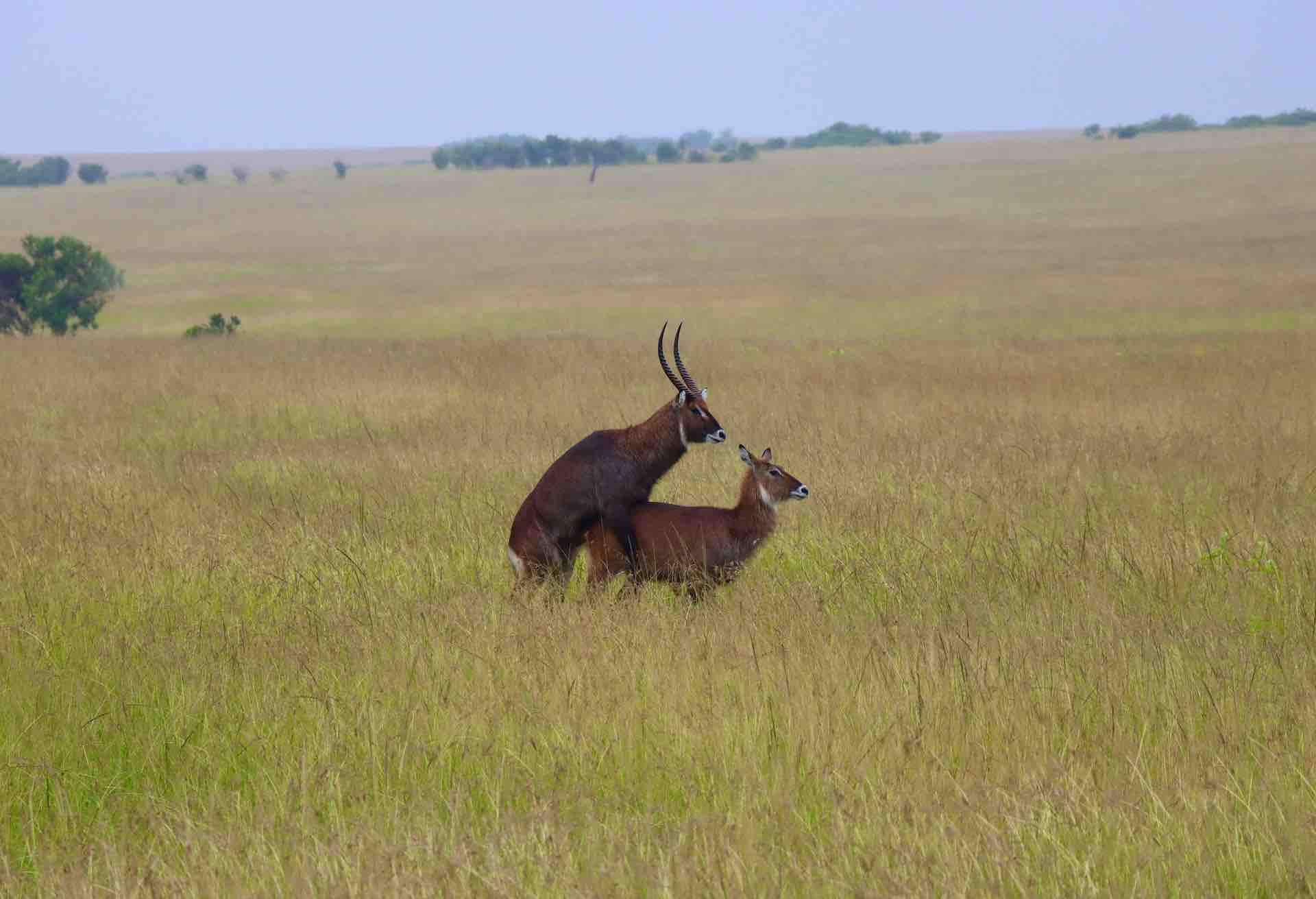 Waterbuck Antelope mating Kenya safari Africa_AOT